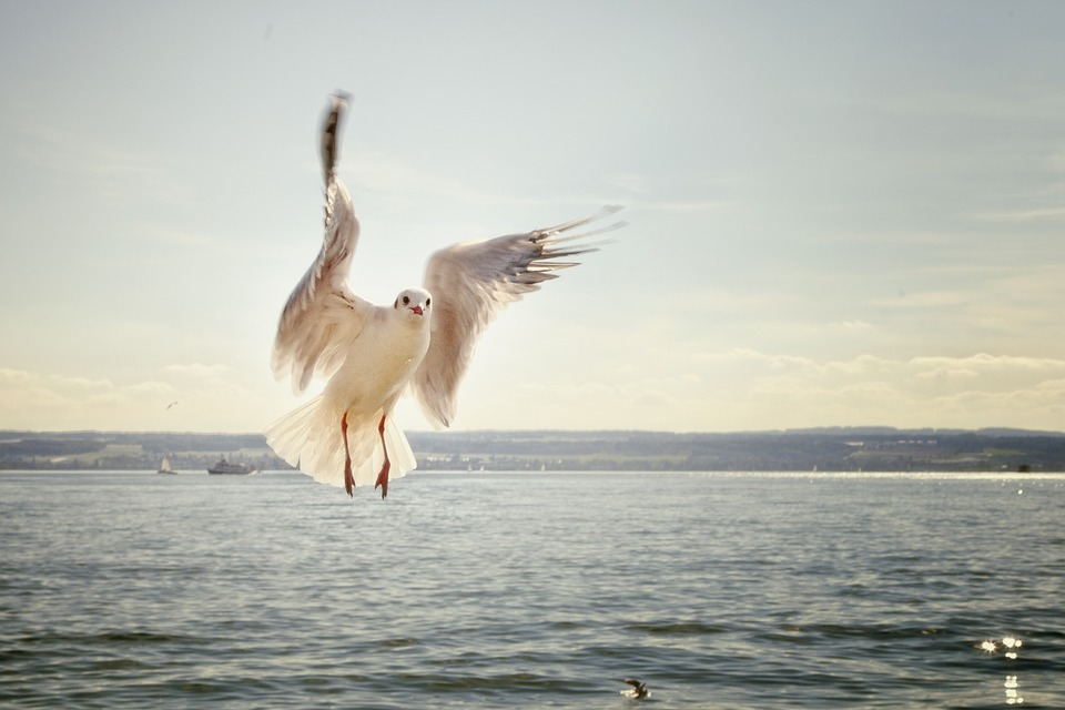 Burung Camar Di Danau Constance