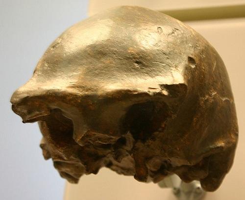 Fosil Homo Erectus Soloensis Dari Ngandong