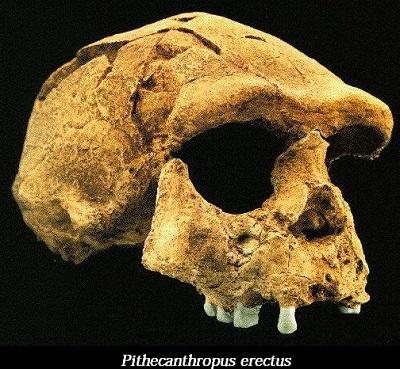Fosil Pithecanthropus Erectus Atau Manusia Kera Yang Berjalan Tegak