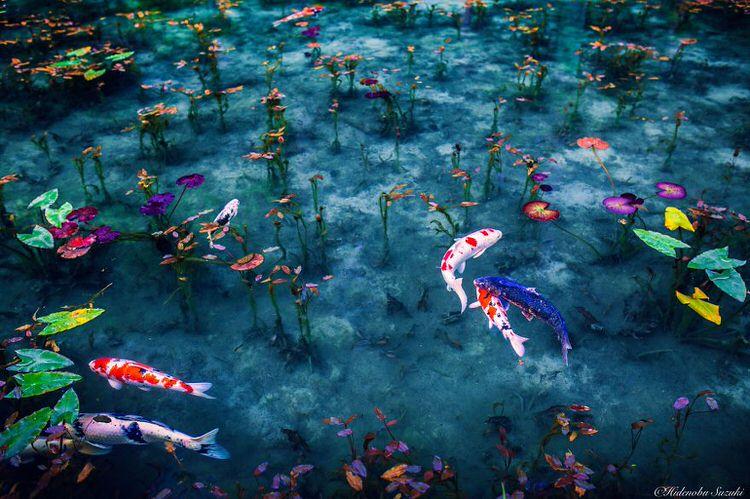 Indahnya Ikan Koi Di Kolam Yang Beriak
