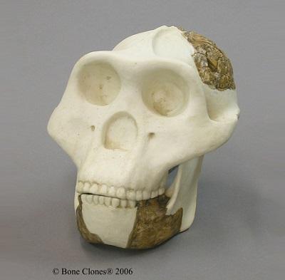 Rekonstruksi Fosil Tengkorak Meganthropus Paleojavanicus