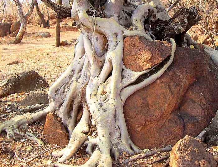 Contoh Pelapukan Organik Penghancuran Batuan Oleh Akar Pohon
